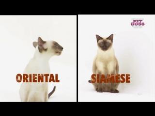 Ориентальная кошка׃ описание породы