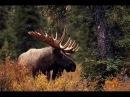 Охота на лося-меткий выстрел