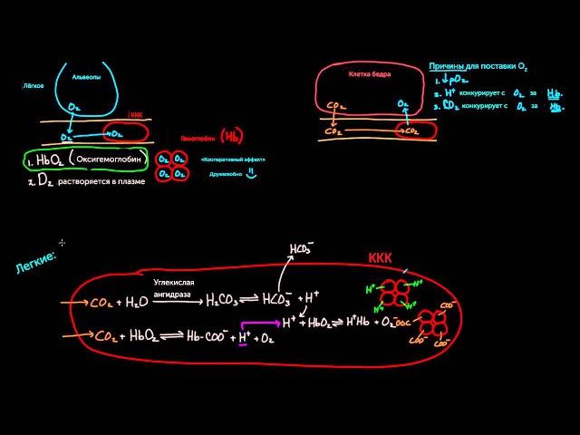 2 Гематология Работа эритроцитов Медицина