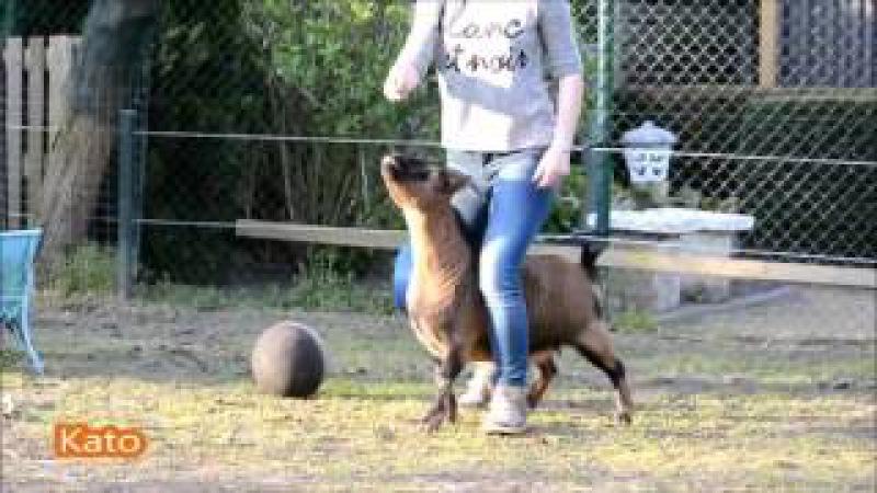 Когда очень хочешь собаку, но у тебя есть только козлёнок и курица