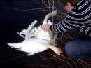 Бедные лебеди приплыли за помощью к людям