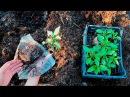 Выращивание перца Высаживаем перец в открытый грунт Теплая грядка
