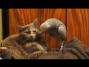 попугай джокер против кота