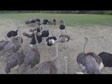 Страусина ферма м. Хуст - ostrich farm