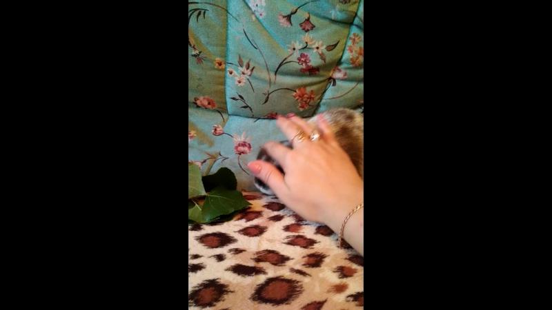 Карликовый вислоухий кролик девочка от пары ЛапушкаАмиго
