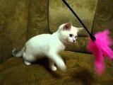 Британский котик Гучи шиншилла-поинт ns1133