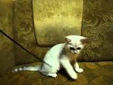 Британский котик Грэй окраса шиншилла ns11