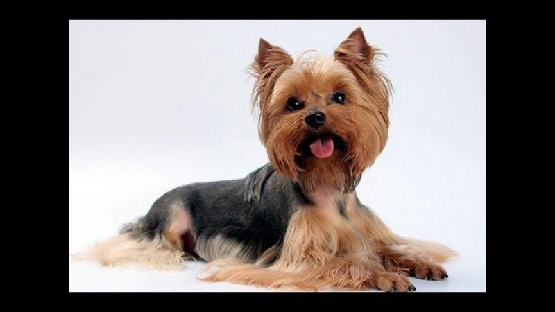 Йоркширский терьер Породы собак