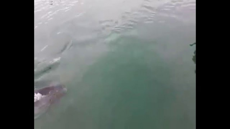 Tuna swimming in harbor eats a seagull, then decides to spit it out