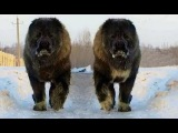 Kafkas Çoban Köpeği - Кавказская овчарка - Qafqaz coban iti - Caucasian Ovcharka