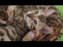 Bengal kittens - One for all and all for one / Бенгальские котята- один за всех и все за одного