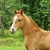 ф\х Крибелевых(Конеферма): продажа лошадей, ВЕ.