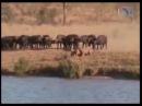 Стадо буйволов нагибает львов комментарий по дагестански