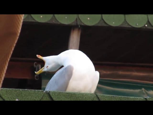 Чайка смеётся The Seagull laughs