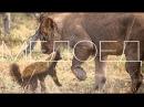 Honey Badger vs lions RUS Медоед против львов.