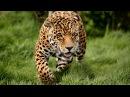 Леопард –совершенный хищник. История одной крупной кошки. Глаз леопарда Nat Geo Wil...