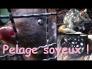 Dasyurus viverrinus Shaw, 1800 -HD- Chat marsupial moucheté - Ménagerie Paris - 10/2014
