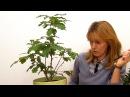 Мой дубовый лес. Формирование кроны. (ч.1)