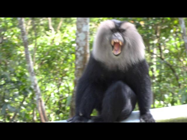 Lion-tailed macaque / Вандеру, или Львинохвостый макак / Macaca silenus