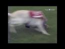 «Собачья работа 06. Эндал - возвращающий память. Ди - беговая собака» Познавательный, 2000