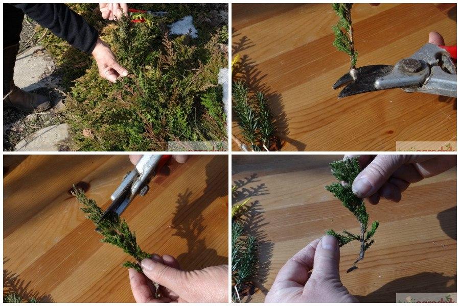 Gardening Черенкование туи осенью, зимой, весной в домашних условиях