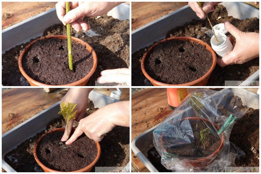 Выращивание туи из черенка домашних условиях 3