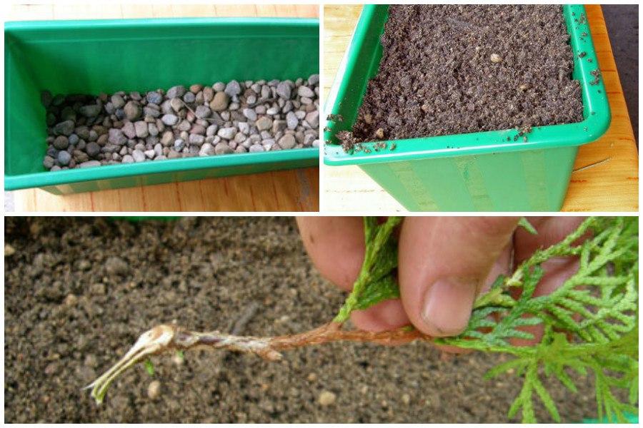Выращивание туи из черенка домашних условиях 89