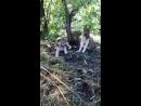 Волчица оборотень и Маламут медвежатник