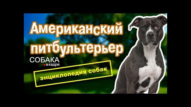 Американский питбультерьер. Энциклопедия собак.