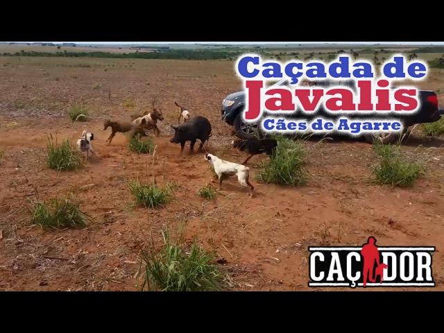 Cães de Agarre Caçada de 3 Javalis