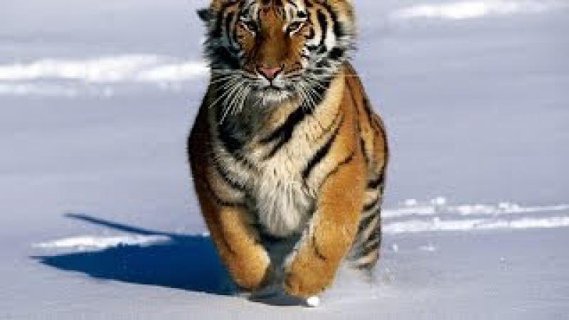 BBC Planet Earth 2 Documentary HD 1080p   Wild Russia Siberia