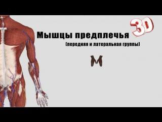 Мышцы предплечья (часть 1) - детальный обзор 3д