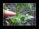 Пасынкование - хитрости по уходу за томатами. Как правильно пасынковать и зачем это нужно