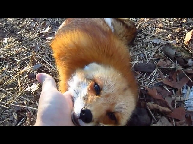 What Does the Fox Say in the Morning? · coub, коуб