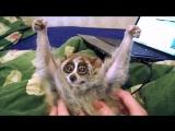 Лемуры - самые милые животные в мире!