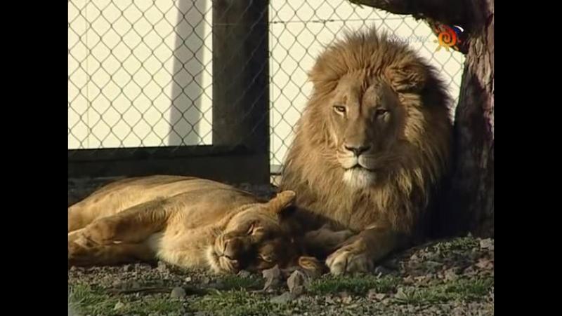 Animal Planet. Человек и львы (1-3 сезоны: 1-43 серии из 43) / The Lion Man / 2004-2008 /09