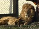 Animal Planet. Человек и львы 1-3 сезоны 1-43 серии из 43 / The Lion Man / 2004-2008 /09