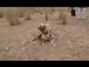 Булли кутта VS американский булли mix Индия Собачьи бои