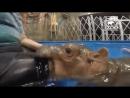 Жестокое нападение бегемота на человека!