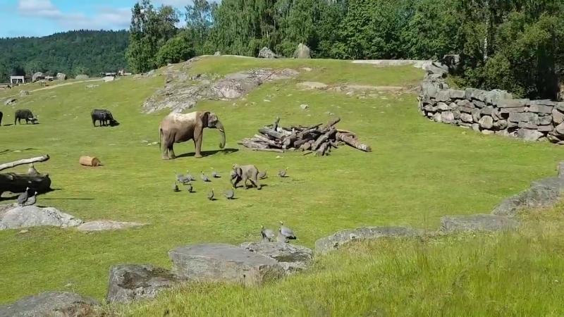 Неуклюжий слоненок преследует птиц