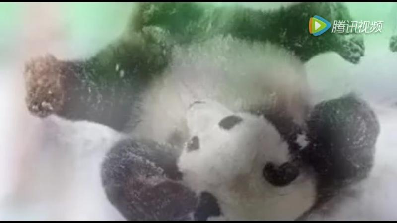 萌翻了!当四川大熊猫遇到哈尔滨大雪,看看你那没出息的样子!_1