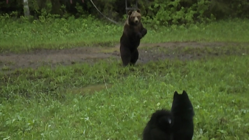 притравка на медведя Чина 9,5 месяцев