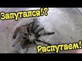 ПАУК ЗАПУТАЛСЯ В СВОЕЙ ПАУТИНЕ. Выручаем паука Ephebopus murinus из беды!