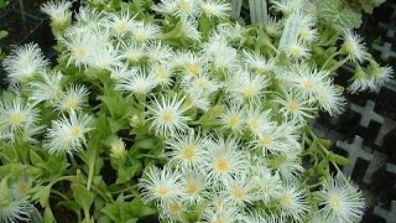 Канна (Sceletium tortuosum, Скелетиум скрученный): Описание растения, эффекты, способ потр...