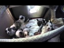 Australian Shepherd Puppies, birth to eight weeks