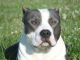 Собака - ТЕЛОХРАНИТЕЛЬ Боксёр Пит БУЛЬТЕРЬЕР Dog - BODYGUARD Boxer Pit bull TERRIER.