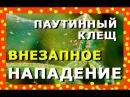 БОЛЕЗНИ ОГУРЦОВ / ПАУТИНА НА ЛИСТЬЯХ / DISEASES OF CUCUMBERS / WEIGHTS ON LEAVES