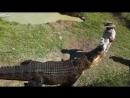 Укротитель аллигаторов