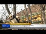 Уникальную окраску панд объяснили ученые из штата Калифорния