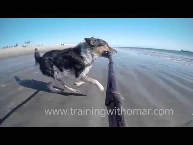Собака бежит и прыгает с селфи палкой в зубах Dog running and jumping with self stick in his mouth